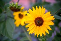 Academy Flowers 1 (TWK2011) Tags: daisy flower albuquerque academy green yellow brown plant sun happy nature garden bright beautifulearth