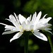 Marguerite (Martha-Ann48) Tags: marguerite flower blossom bloom green macro bokeh petals visitors pollen rape beetles