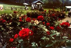 Music and roses (threepinner) Tags: rosegarden rose chippubetsu hokkaidou hokkaido northernjapan japan summer pentax me rikenon 28mm f28 秩父別 negative iso100 selfdeveloped reversal negaposidevelopment