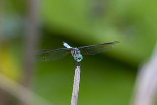 dragonfly-blue_closeup
