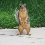 Squirrels at the University of Michigan on a Hot day in Ann Arbor (June 18th, 2018) thumbnail