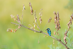 Eisvogel (Tierfotografie Niklas Mattern) Tags: wildlife canon eos 1dxmarkii ef 400l28isii eisvogel kingfisher