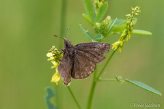 Dreamy Duskywing (Erynnis icelus) (Frode Jacobsen) Tags: erynnisicelus dreamyduskywing westvirginia frodejacobsen canoneos7dmarkii canonef30040lisusm insect butterfly lepidoptera