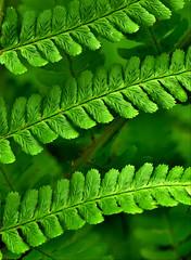 Farn*Fern (BrigitteE1) Tags: macromondays linesymmetry farn fern grün green licht light natur nature wald wood liniensymmetrie symmetrisch symmetric makro macro