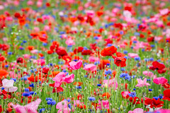 Poppy and Bachelor Button Field (ChristineDarnell) Tags: poppies poppy flowers field landscape bachelorbuttons canon flower