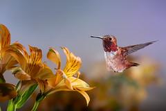 Coming In! (Patricia Ware) Tags: 500mmf4lisusm allenshummingbird alstroemeria backyard birdsinflight california canon fullframe manhattanbeach multipleflash selasphorussasin tripod ©2018patriciawareallrightsreserved specanimal sunrays5