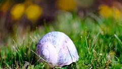 Coquille vide (ΨᗩSᗰIᘉᗴ HᗴᘉS +19 000 000 thx) Tags: macro snail coquille bokeh hensyasmine namur belgium europa aaa namuroise look photo friends be wow yasminehens interest intersting eu fr greatphotographers lanamuroise tellmeastory flickering fujifilmgfx50s