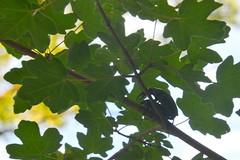 Vliegend hert (Lucanus cervus)   paring ♂♀ (Frank Berbers) Tags: vliegendhert lucanuscervus hertkever grootvliegendhert insect insecta coleoptera coléoptères kever scarabaeiformia lucanidae hirschkäfer käfer schröter donnergugi feuerschröter hornschröter stagbeetle beetle longhornbeetle iucnredlist drôme die frankrijk frankreich france auvergnerhônealpes ♂♀ paring copulation paarung accouplement mating nikond5100