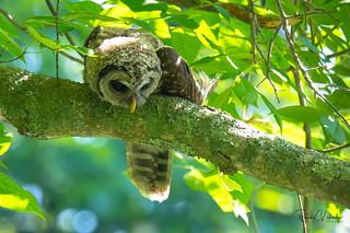 Barred Owl - Strix varia   2018 - 2