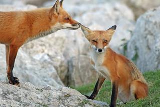 Fox Secrets