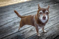 S1010269 (sswee38823) Tags: brownie brown chihuahua dog dogs littledog pet pets sl leicasl leicasltyp601 varioelmaritsl12842490asph leicacamera leica massachusetts elitechihauhua elitechihuahuas wood
