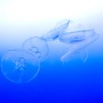Moon Jelly (Aurelia aurita) of Enoshima Aquarium, Fujisawa : ミズクラゲ(藤沢市・新江ノ島水族館) thumbnail