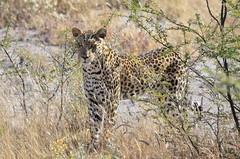 DSC_2577 (Andrew Nakamura) Tags: etosha namibia etoshanationalpark projectdragonfly earthexpeditions mammal bigcat felid leopard africanleopard animal wildlife