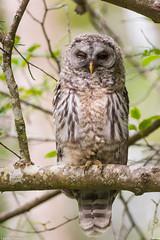 barred owl nanaimo bc (lee barlow) Tags: vancouverisland nikon800mm owlsofnorthamerica nikon strixvaria birdsofnorthamerica birdsofbritishcolumbia leebarlow d7200 britishcolumbiawildlife britishcolumbia birdofprey nanaimobc canada barredowl raptor ngc birdsofcanada