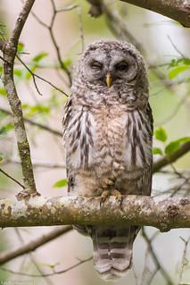 barred owl nanaimo bc