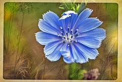Chicory In Grass (garywitte845) Tags: bluesailorssuccory chicory cicoriumintybus asteraceaeaster textured framed pixlr wildfolwer nature blue grass