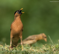 Can you hear me (KevinBJensen) Tags: nagarajchindanur birds india beauty nature karnataka background loud n clear ballari avian beautiful