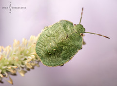 Green Shield Bug (John Chorley) Tags: greenshieldbug bugs johnchorley macro macrophotography green garden 2018 nature wildlife outdoor