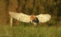 Barn Owl (jonathancoombes) Tags: barnowl barnie barny owl hunter prey bird hover explore nature wildlife