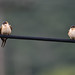 Red-rumped swallows_02