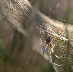 Webnesday scatterscape! (conall..) Tags: closeup raynox dcr250 macro ballybannon ballybannan maghera countydown down backlit backlight intothelight glowing legs golden refraction colour scatter light wavelength dependent bands silk web spider webwednesday webnesday glowinglegs linyphiidae