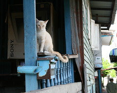 cat on a porch (the foreign photographer - ฝรั่งถ่) Tags: white cat blue poch khlong thanon bangkhen bangkok thailand canon