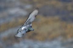 Pigeon in flight (adbecks) Tags: pigeon flight bif nikon d500 300pf f4 wildlife uk