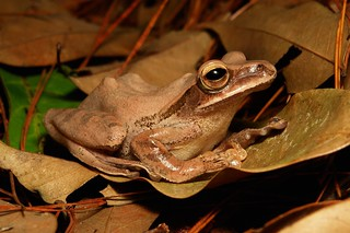 Golden Tree Frog (Polypedates leucomystax, Rhacophoridae)