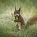 Bearded squirrel