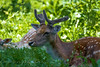 Paisible (bewo22) Tags: 2011 animals animaux daim fallowdeer geneve jardinbotanique juin mammal mammifère copyrightemmanuelberrod