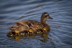 Mallard with ducklings (C7D6044) (matxutca (cindy)) Tags: outdoors oquirrhlake southjordan utah nature mallard female babies ducklings swimming lake daybreak