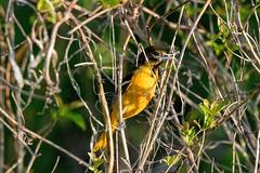 2017 Baltimore Oriole 2 (DrLensCap) Tags: baltimore oriole ledge road horicon marsh national wildlife refuge waupun wisconsin wi bird robert kramer