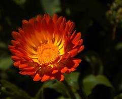 Botanical Garden of MariMurtra - Blanes (Joan Amigó) Tags: flor macrofotografia color airelibre airelliure planta jardí jardín