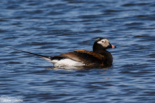 Long-tailed duck, summer plumage