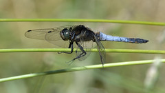 Black-tailed Skimmer (Full Moon Images) Tags: rspb fen drayton lakes wildlife nature reserve cambridgeshire insect macro blacktailed black tailed skimmer dragonfly