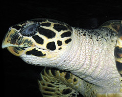 Tortoise (Mary Faith.) Tags: tortoise amphibian portrait carapace shell blue eyes beak