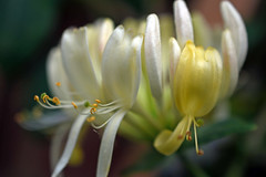 Budding Honeysuckle (Rachela B) Tags: lonicera honeysuckle climber mygarden july flower flowers delicate bokeh macro softfocus
