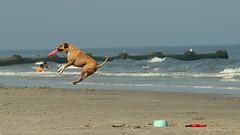 catch (Judecat (gone coastal)) Tags: dog frisbee dogjumping wildwood dogbeach newjersey canine