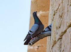 Bellver Castle 26 June 2018 00058.jpg (JamesPDeans.co.uk) Tags: pigeons feralpigeon forthemanwhohaseverything spain majorca palma nature printsforsale birds wwwjamespdeanscouk jamespdeansphotography landscapeforwalls europe mallorca digitaldownloadsforlicence