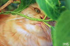 Hiding (morbidtibor) Tags: cat cats kat katten poes poezen kitten pussycat maincoone norwegianforestcat