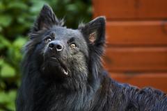 Totoro (Jos Mecklenfeld) Tags: sonya6000 sonyilce6000 minoltamdzoom75200 minoltamdzoom75200f45 minoltamdzoom75200mmf45 minoltamdlens minoltamd minolta totoro dutchshepherd dutchshepherddog shepherd shepherddog dog hollandseherder hollandseherdershond herder herdershond hond
