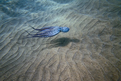 IMG_0279A (Aaron Lynton) Tags: underwater turtle maui hawaii octopus tako texture sand canon spl 7d paradis snorkel diving