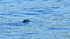 A grey seal in the waters of Stockholm (Franz Airiman) Tags: halichoerusgrypus säl seal gråsäl greyseal grayseal djur animal saltsjön stockholm sweden scandinavia wild vild kvarnholmen sälis sälx