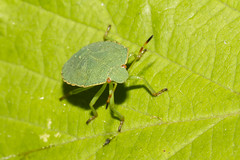Green Shield Bug (Palomena prasina) (wayne.withers1970) Tags: small pretty color colorful nature natural colour colourful wild wildlife wales summer macromonday flickr dof bokeh country countryside outside outdoors alive fauna flora canon sigma light blur white green yellow fine dark macro macromondays wwt llanelli animal bug