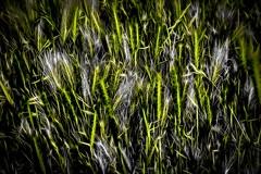 Danse des épis (Briren22) Tags: épis herbe vert contraste nature