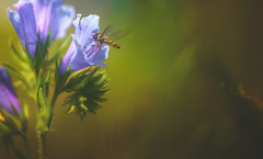 Blueweed (Dhina A) Tags: sony a7rii ilce7rm2 a7r2 a7r echiumvulgare blueweed vipersbugloss lensbaby composer pro twist 60 optic 60mm lensbabycomposerpro f25 bokeh art lens manual focus emount creative photography blur