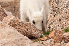Mountain Goat kid looking adorable