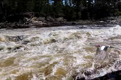 Ottawa river rapids (Eagle-Wings) Tags: ottawariverrapids flight duck bird waves nature wood river ontario canada wildlife