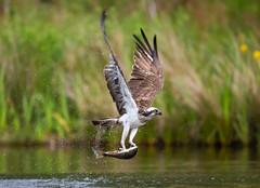 Osprey 23-06-2018-8663 (seandarcy2) Tags: birds prey osprey raptors handheld wildlife highland scotland uk
