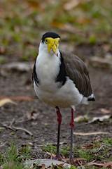 Masked Lapwing (Uhlenhorst) Tags: 2009 australia australien animals tiere birds vögel travel reisen ngc